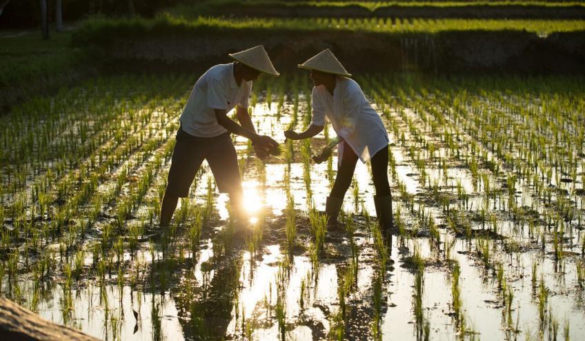 Rice Planting 57f738877ed97