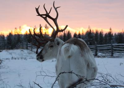 reindeer 44