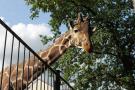 giraffe 4012271 960 720